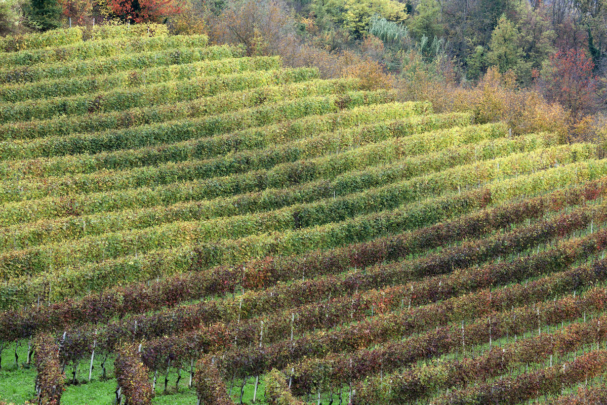 Vineyards 21